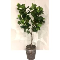 16015 8 Foot Fiddle Leaf Fig Tree Arrangement