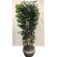 14227 8 Foot Giant Clipped Ficus Tree Arrangement
