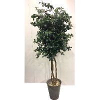 7 Foot Green Olive Tree with Rock Arrangement